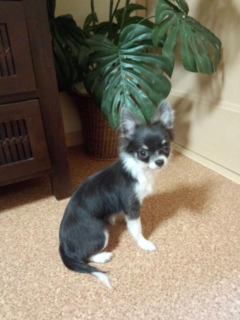 zoeちゃんも我が家に来て約2ヶ月、生後5ヶ月になりました☆彡 相変わらず可愛らしくて元気です(^_^) zoeちゃんはお利口さんで、我が家に来ておよそ10日程でトイレやお座りや待てもしっかり覚えてくれました。 無駄吠えも全然ありませんでした。先住犬のViViが「いけない」と言えばすぐ止めるのですが、どうしてもチャイム吠えをしてしまうので、zoeちゃんも真似してしまうかなと諦めていましたが、驚く事につられて吠える事が全くありません!この無駄吠えの無さには本当に驚いています。 竹内さんの愛情とリトルホップさんの環境の賜物ですね(*^_^*) お陰様で楽しいワンコ生活をおくらせて頂いております(^_^) ありがとうございます(*^_^*)