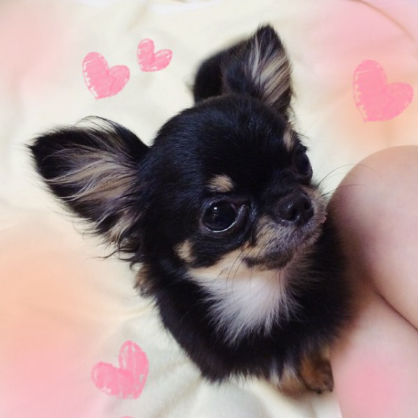 最近のリジちゃんの写真をお送り致します^ ^ 一歳過ぎましたが、まだまだ赤ちゃんみたいな 顔で、だんだん愛嬌も多くなり、散歩も上手です^ ^